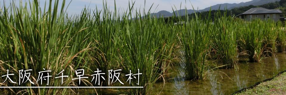 ふるさと応援団マルシェ 大阪府千早赤阪村の取組み 豊富にある自然・水田を活用したマコモタケの生産で村を活性化