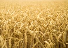 麦畑イメージ